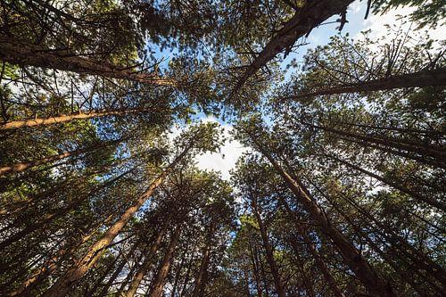 Dennenbos in Nationaal Park Schiermonnikoog