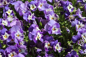 Paarse viooltjes von Ivan Koole