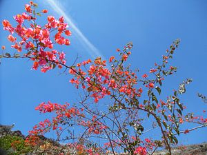 Bloemenpracht in Gran Canaria
