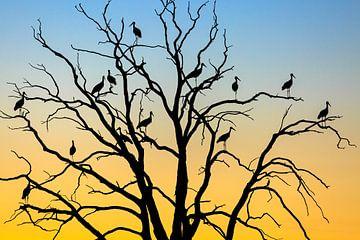 Cigognes (Ciconia ciconia ciconia) dans un arbre au coucher du soleil, Losser, Overijssel sur