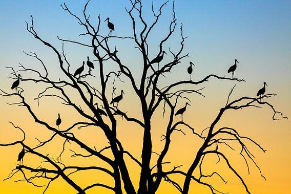 Ooievaars (Ciconia ciconia) in een boom bij zonsondergang, Losser, Overijssel
