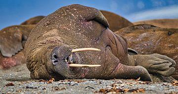 slapende walrus van Kai Müller