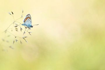 Heidekraut Blau (Plebejus argus) von Lia Hulsbeek Brinkman
