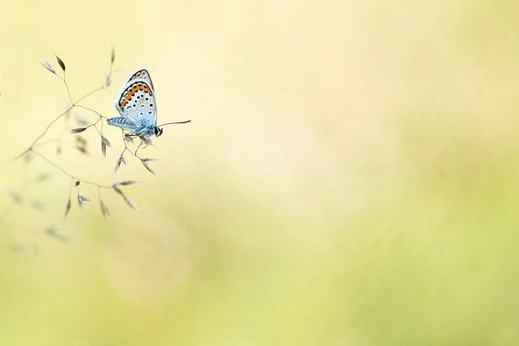 Heide Blauwtje (Plebejus argus) van Lia Hulsbeek Brinkman