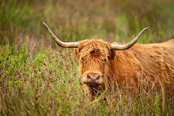 Schotse Hooglander, langharig rund van Gert Hilbink