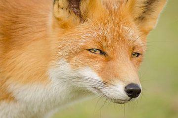 Porträt eines Fuchses von Ans Bastiaanssen