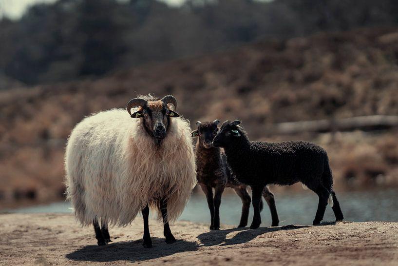 Schafe mit Lämmern in der Natur von Steven Dijkshoorn