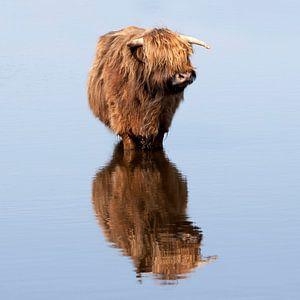 Schotse hooglander in het water