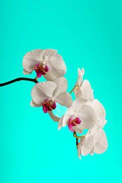 Orchidee stilleven van Björn van den Berg