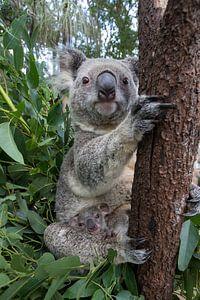 Koala (Phascolarctos cinereus) moeder met haar zeven maanden oude baby in een boom, Queensland, Aust