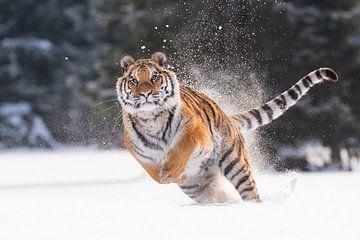 Tigre de Sibérie dans la neige sur Dick van Duijn
