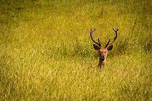 Edelhert in het gras