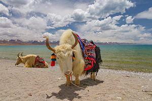 Twee jaks bij het Namtso meer in Tibet van
