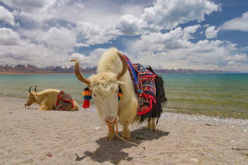Twee jaks bij het Namtso meer in Tibet