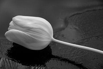 Witte zijdezachte tulp op ijs van J..M de Jong-Jansen