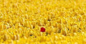 1 rode tulp in een geel bollenveld van