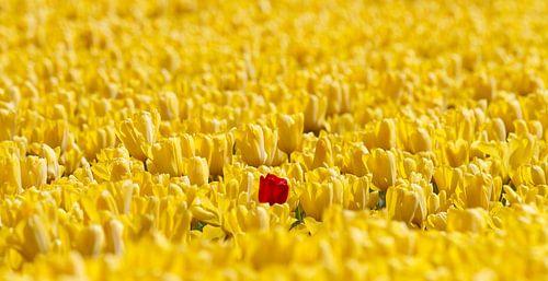 1 rode tulp in een geel bollenveld