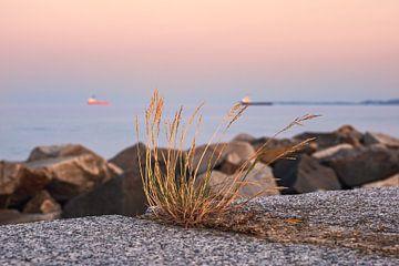 Grasbüschel auf der Mole von Sassnitz auf der Insel Rügen am Abend von Rico Ködder