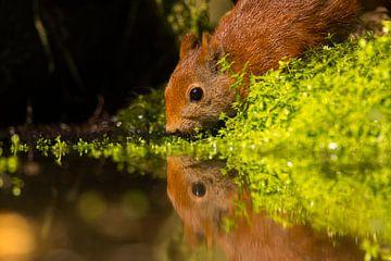 Dorstige eekhoorn van Leo Kramp
