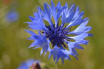 Blauwe korenbloem van Ingrid Bargeman