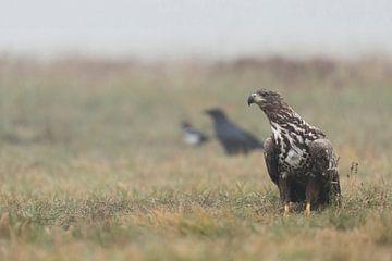 White-tailed Eagle / Sea Eagle ( Haliaeetus albicilla ), juvenile, adolescent, sitting on the ground van wunderbare Erde