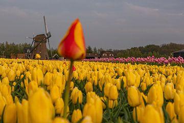 Orange Tulpe im gelben Tulpenfeld von Remco-Daniël Gielen Photography