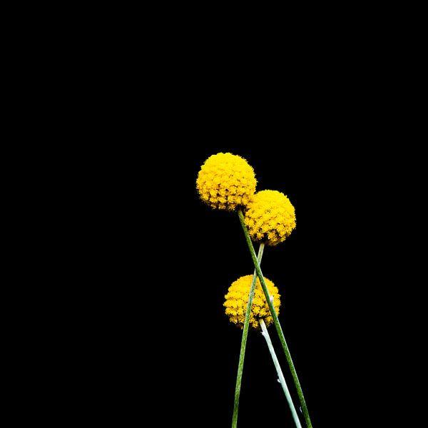 Craspedia Golf Beauty van SchippersFotografie
