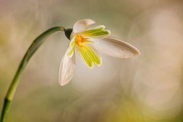 Sneeuwklokje (Galanthus nivalis) van Carola Schellekens