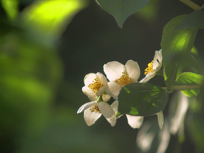 Blüten von Peter Morgenroth