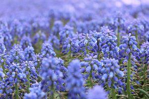Blauwe druifjes van Lindi Hartman