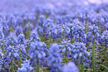 Blauwe druifjes sur Lindi Hartman