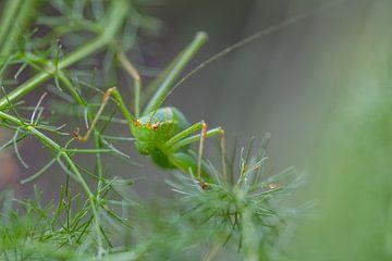 Grüne Heuschrecke von Moetwil en van Dijk - Fotografie