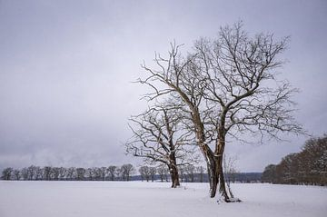 Winterbäume im Feld