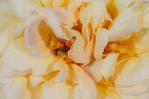 Rose mit Biene von Hans-Jürgen Janda