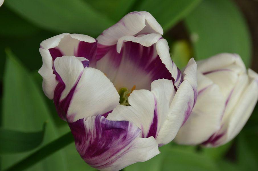 Ontwakende Tulp in het wit en Paars
