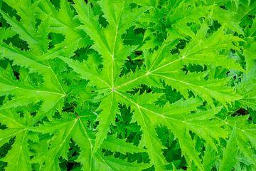 Berenklauw bladeren van bovenaf gezien van Sjoerd van der Wal