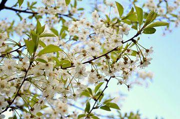 Witte bloemen aan het begin van de lente van Vera Boels