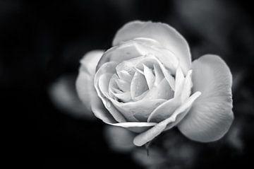 Roos in zwart / wit von Michiel ter Elst