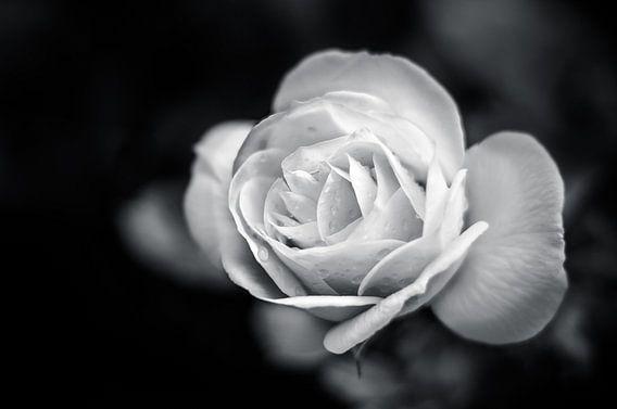 Roos in zwart / wit