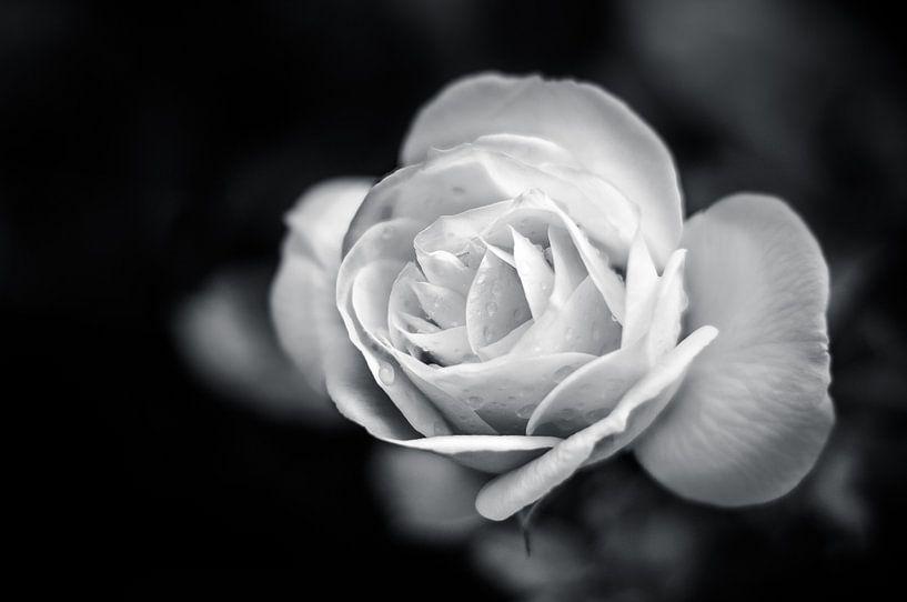 Roos in zwart / wit van Michiel ter Elst