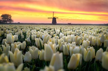 Dutch tulip sunrise