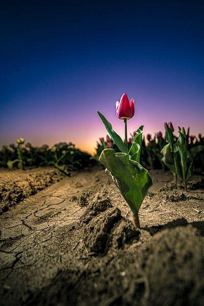Stoere tulp in het avondrood van Fotografiecor .nl