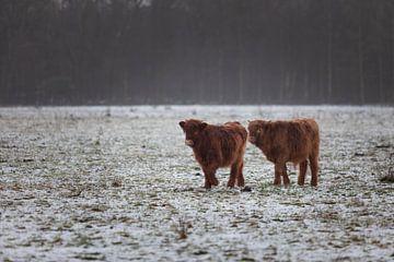 schotse hooglander in de sneeuw van Miranda Geerts