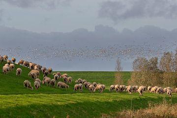 Vogelschwarm und Schafe am Deich von Rolf Pötsch