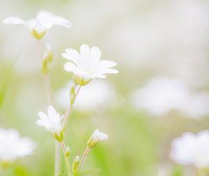 sweet white flowers zoete witten bloemen van