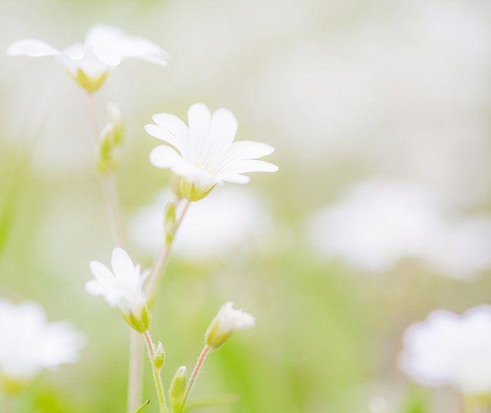 sweet white flowers zoete witten bloemen van Jovas Fotografie