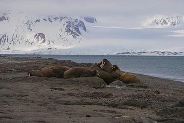 Walrussen op het strand Spitsbergen van Merijn Loch