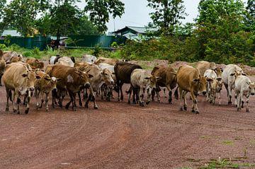 Laos, Vientiane, koeien op de weg van Eline Willekens