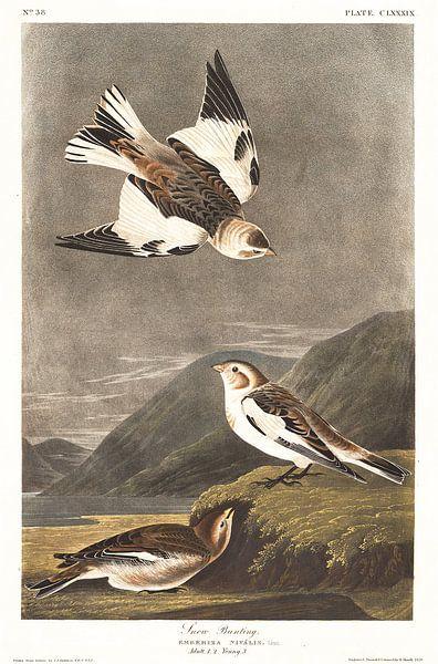Sneeuwgors van Birds of America