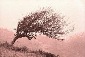 Divi-divi boom in de Katwijkse duinen. van